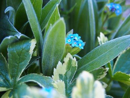 Forget Me Not, Spring Time, Blue Flower, Macro, Flower