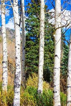 Aspen, Autumn, Colorado, Hiking, Trail, Landscape
