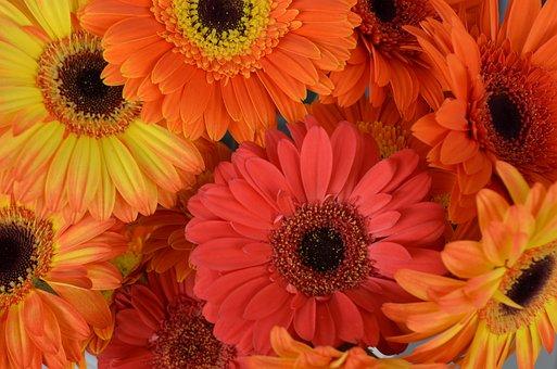 Transvaal Daisy, Flowers, Gerberas, Florist, Spring