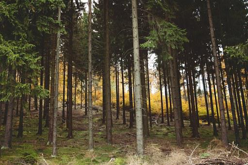 Woods, Wild, Wilderness, Aspen, Birch, Spruce, Fir