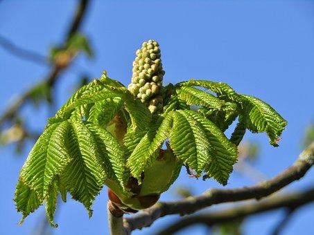Chestnut Tree, Aesthetic, Bud, Sky, Blue, Green Leaves
