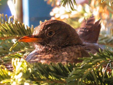 Bird, Nature, Animal, Blackbird, Nest, Breed