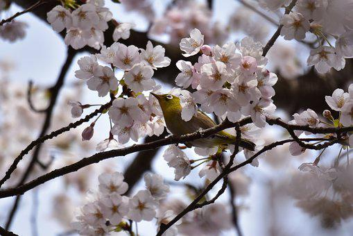 Animal, Plant, Cherry Blossoms, Flowers, Cherry Tree