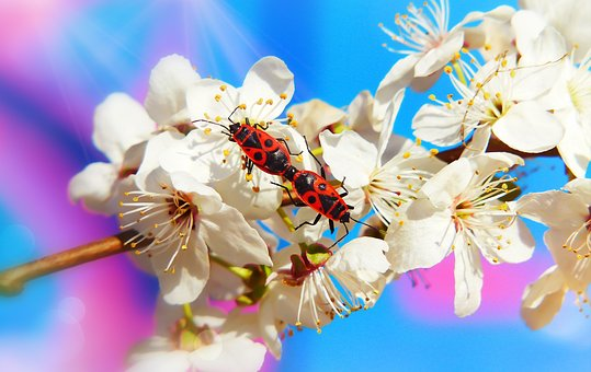 Bugs, Copulation, Insects, Flower, Mirabelka, Animals