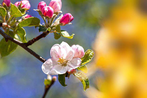 Apple Blossom, Bloom, Flowers, Spring, Lenz, Awakening