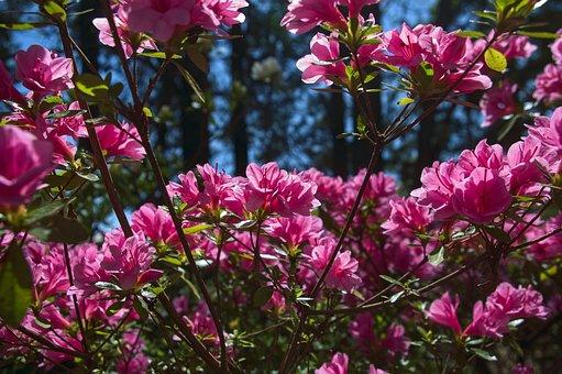 Pink Azalea In The Ozarks, Blossoms, Azalea, Bloom
