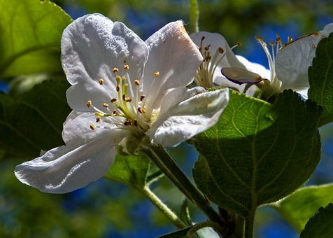 Apple Blossom In Arkansas, Blossom, Spring, Bloom