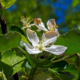 Apple Blossoms In The Ozarks, Blossom, Spring, Bloom