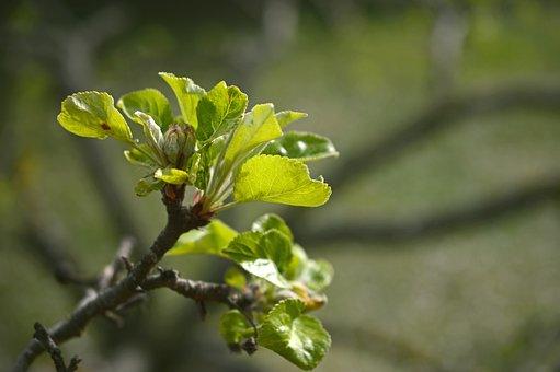 Apple Blossom, Blossom, Bloom, Bud, Closed, Leaves