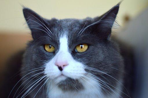 Face, Cat, Pet, Whiskers, Feline