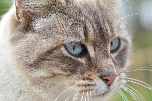Cat, Cat Head, Feline, Female, Companion, Whiskers Cat