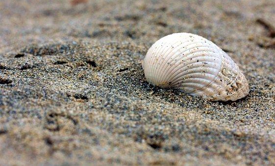 Shell, Beach, Sand, Flotsam, Ocean, Nature, Coast, Sea