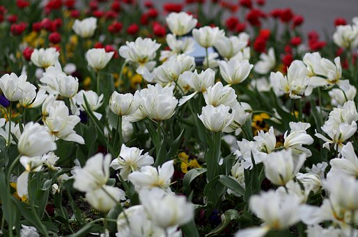 Tulips, White, Coloring, Supplies, Flower, Spring