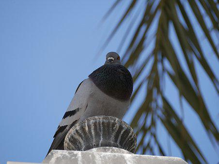 Dove, Mallorca, Palm, Blue Sky, Bird