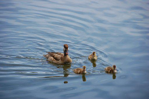 Duck, Ducklings, Chicks, Fluffy, Nature, Water Bird