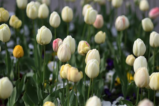 Tulips, White, Supplies, Flower, Spring, Nature, Flora