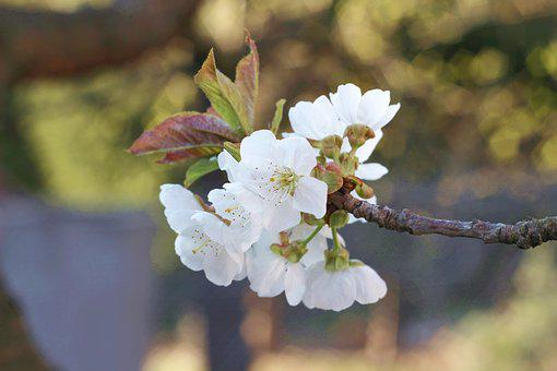 Cherry, Flowers, Spring, Tree, Nature, Flower, Garden