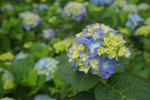 Flower, Hydrangea, Flowers, In Full Bloom, Garden