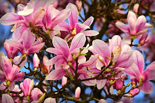 Magnolia, Flower, Petal, Tree, Spring Bloomer, Blossom