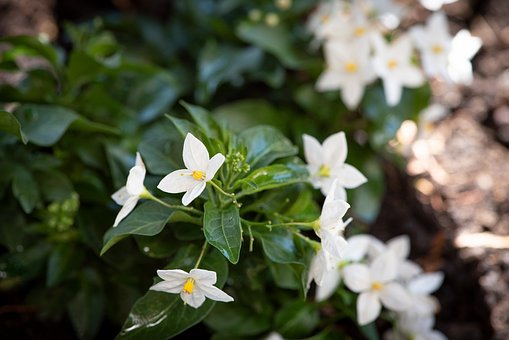 Plant, Flowers, White, Garden, In The Garden