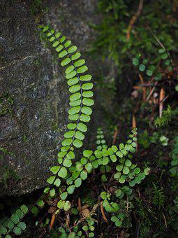Fern, Plant, Green, Brown-stemmed Stripe Fern