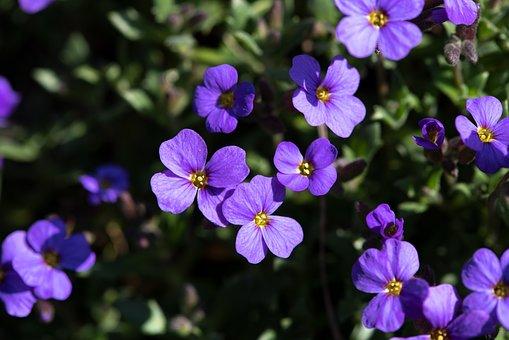 Flowers, Plant, Violet, Nature, Cushion Flowers