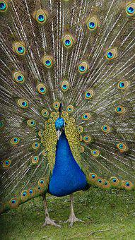 Peacock, Spring, Nature, Plumage, Magic