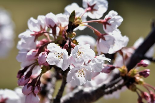 Natural, Landscape, Plant, Cherry Tree, Flowers