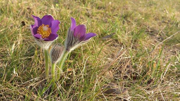 Pulsatilla Patens, Pasque Flower, české Středohoří