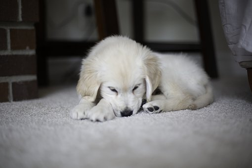 Puppy, Golden Retriever, Cute, Pet, Fur, Puppies