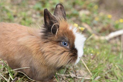 Rabbit, Dwarf Rabbit, Herbivore, Rabbit Blue Eyes