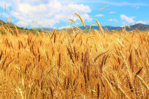Wheat, Field, Agriculture, Grain, Area, Summer, Rural