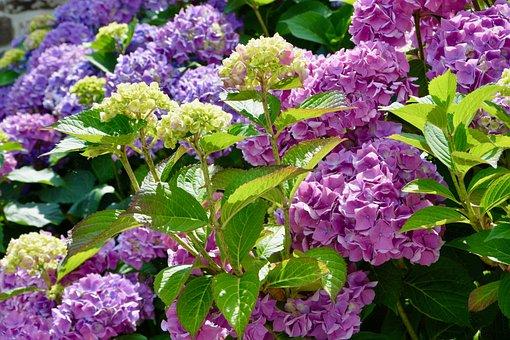 Flower, Flowers Hydrangea, Small Mauve Flowers