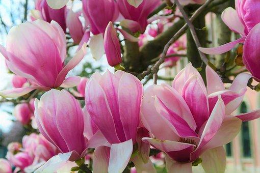 Flower, Magnolia, Spring, Nature, Pink, Plant, Bud