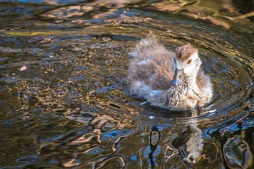 Nilgans, Chicks, Goose, Watch, Swim, Drive