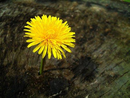 Dandelion, Taraxacum, Plant, Flower, Yellow Flower