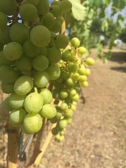 Grapes, Vine, Wine, Vineyard, Sweet, Grapevine, Italy