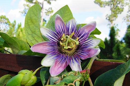 Passion Flower, Trellis, Vine, Garden, Ornamental