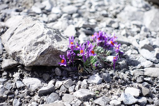 Alpine Flower, Mountain Flower, Pink, Violet