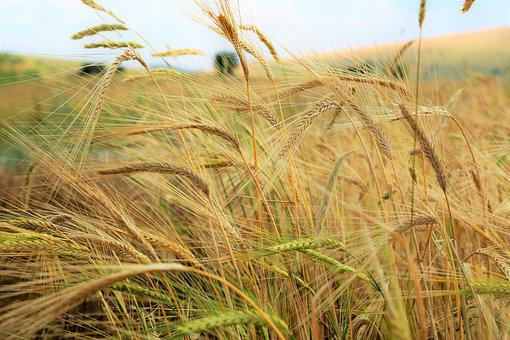 Spike, Wheat, Grain, Agriculture, Area, Plant, Nature