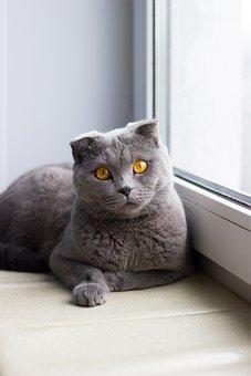 Cat, Window, Window Sill, Animals, Darling, British