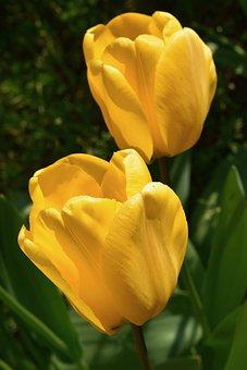Flower, Yellow Flowers, Yellow Tulips, Spring-flowering