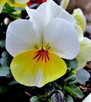 Yellow, White, Pansy, Spring, Violet, Blossom, Bloom
