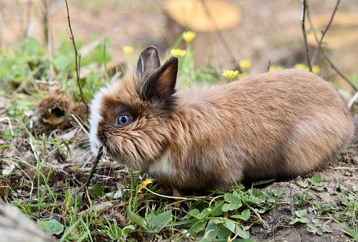 Rabbit, Dwarf Rabbit, Herbivore, Mammal, Animal, Nature