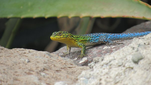 Push-dim, Lizard, Reptile, Colors, Blue, Green, Animal