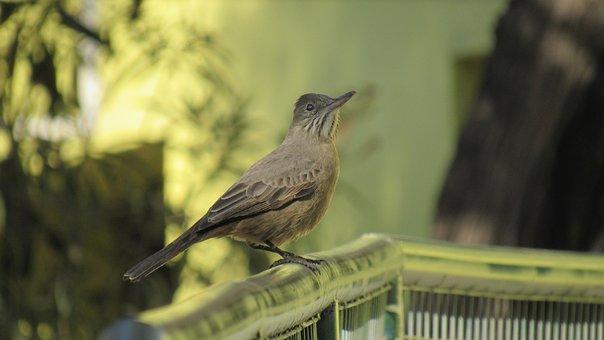 Mere, Ave, Birds, Bird, Animal, Animals, Fauna