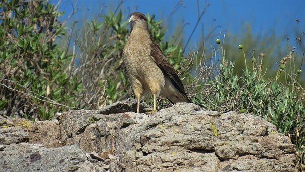 Tiuque, Chimango, Ave, Birds, Animal, Animals, Fauna