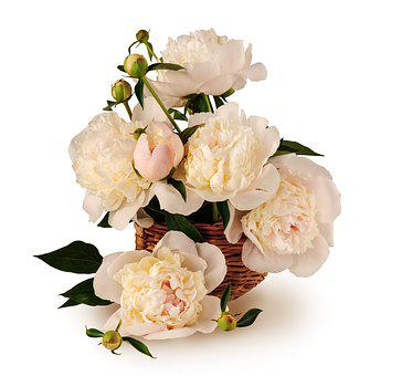 Peonies, Bouquet, Basket, Flowers, Big, Isolated, White