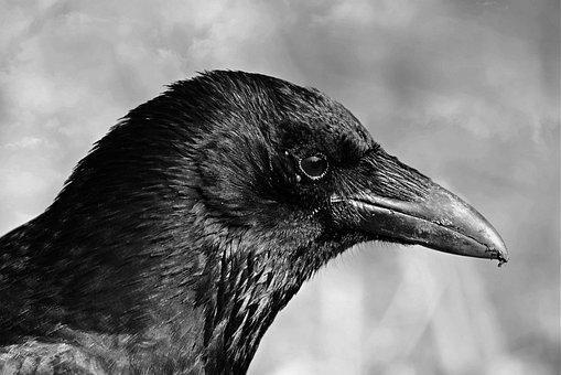 Black Crow, Bird, Animal, Corvidae, Beak, Head, Eye