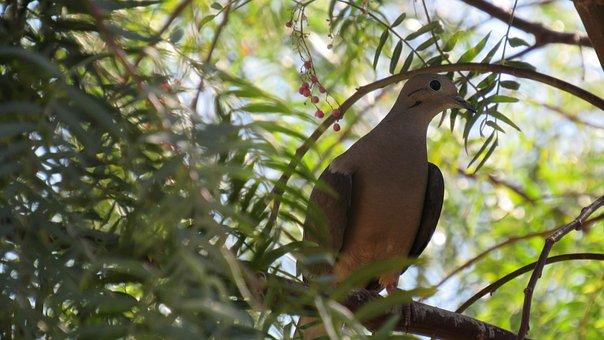 Turtledove, Ave, Birds, Paloma, Animal, Animals